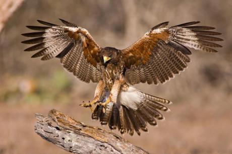 Hawk photo